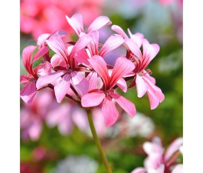 pink hardy geranium perennial flowers