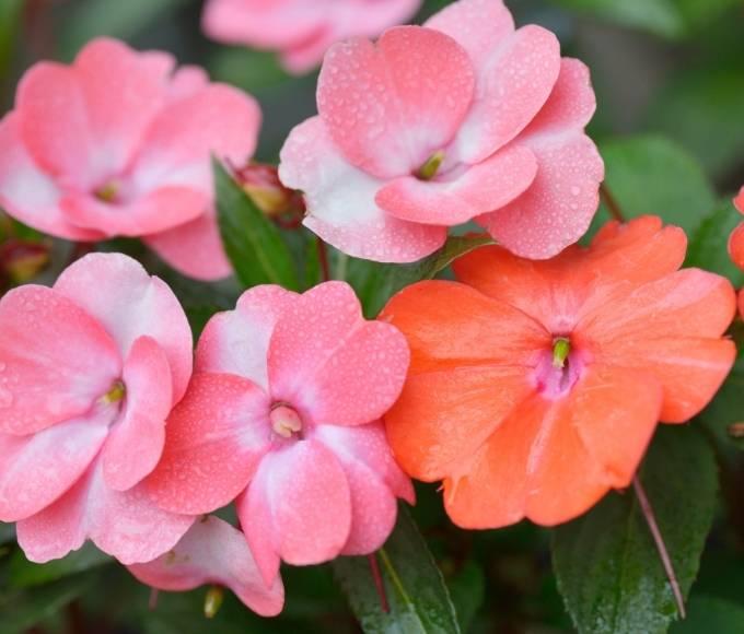 pink impatiens perennial flowers