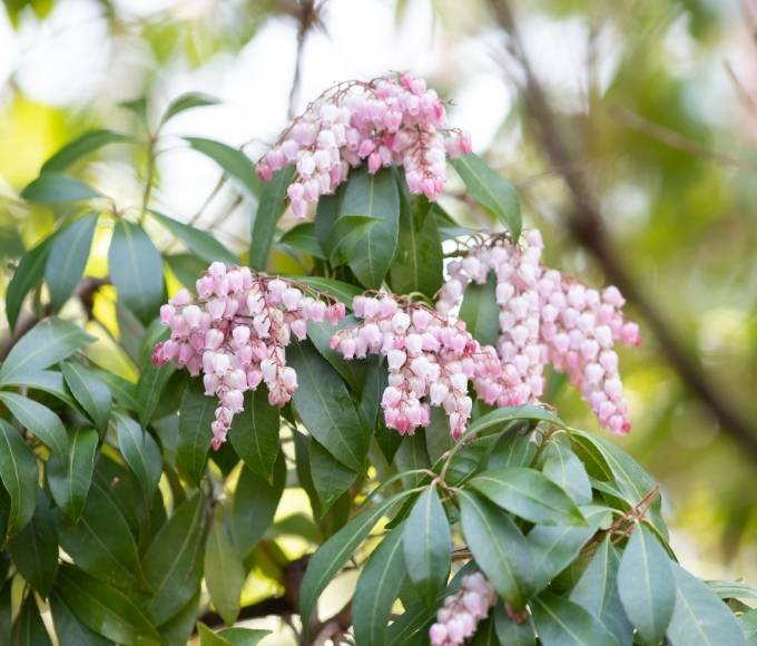 pink lily of the valley flowers