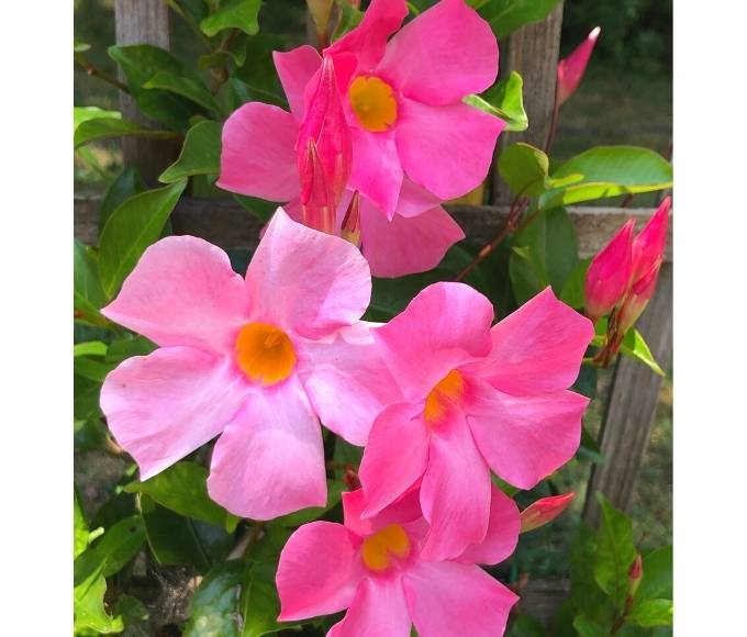 pink mandevilla flowers perennial variety