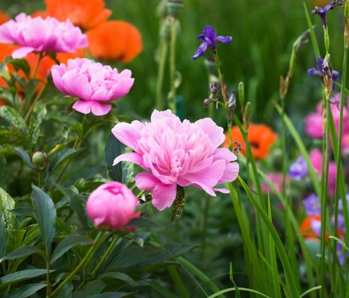 bright pink peonies perennial flowers