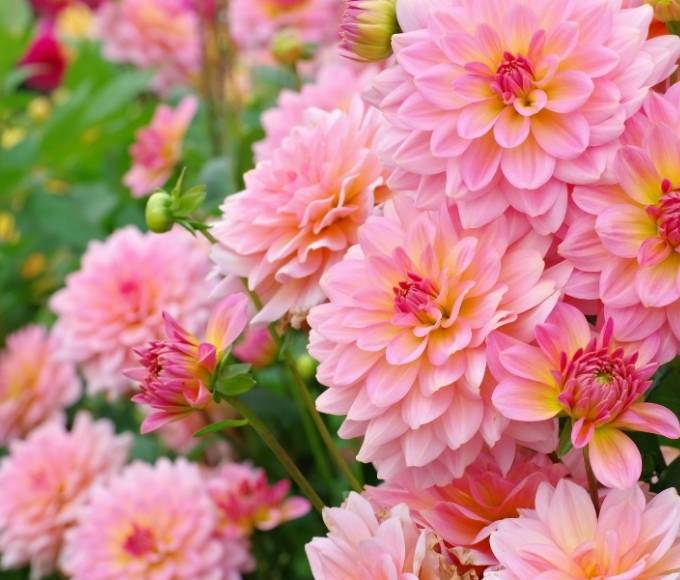 bright pink perennial dahlias flowers