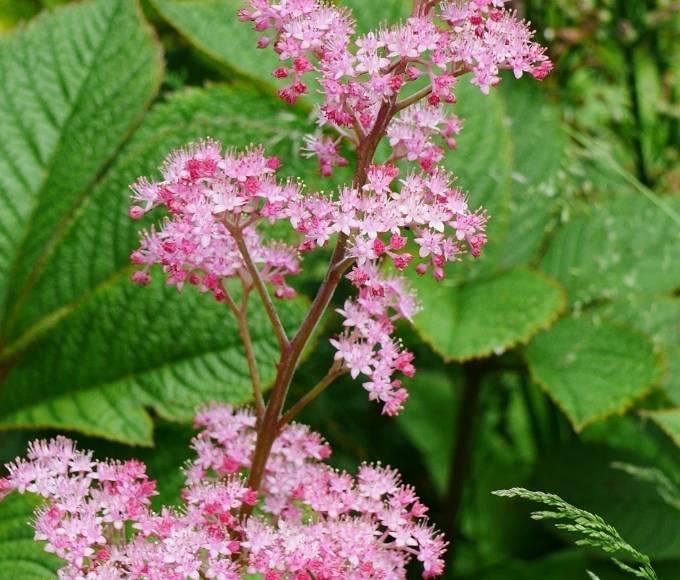 pink rodgersia perennial garden flowers