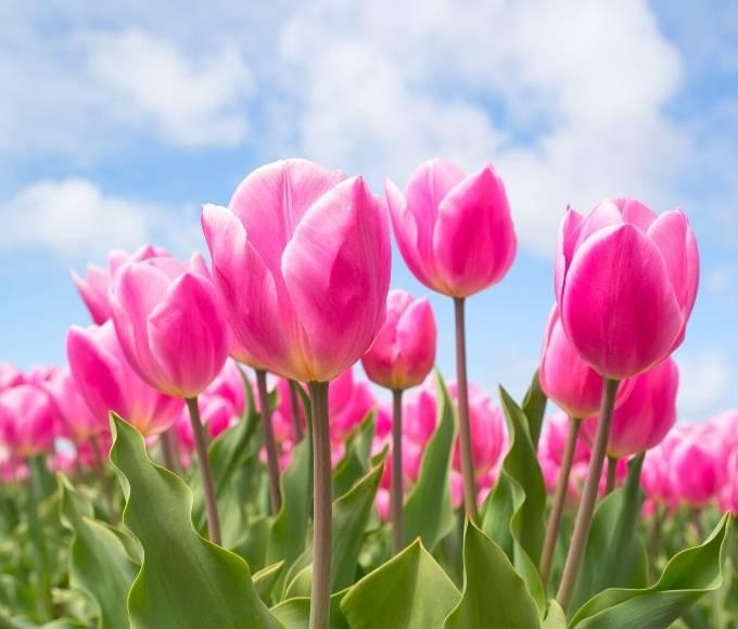 pink tulips perennial summer flowers