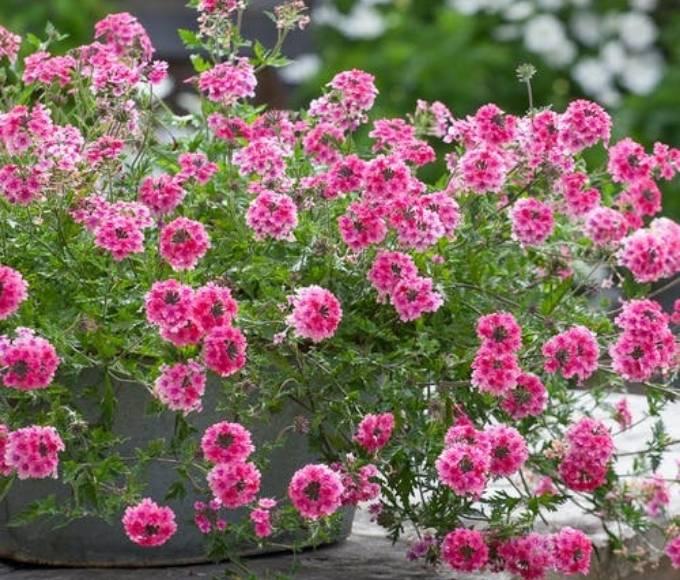 pink verbena tenera sissinghurst flowers
