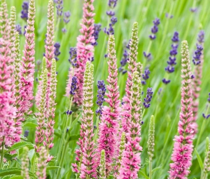 pink veronica spicata flowers