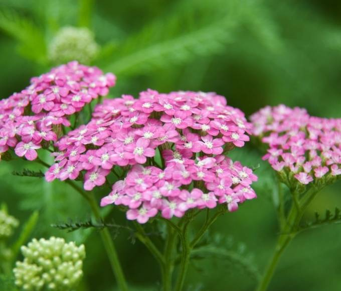 bright pink yarrow perennial flowers growing in the garden