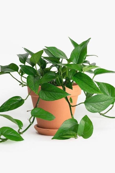 pothos houseplant with bright green trailing vine leaves