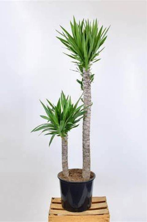spineless yucca tree easy to care for houseplant
