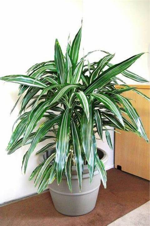 striped dracaena deep green leaves in a decorative pot
