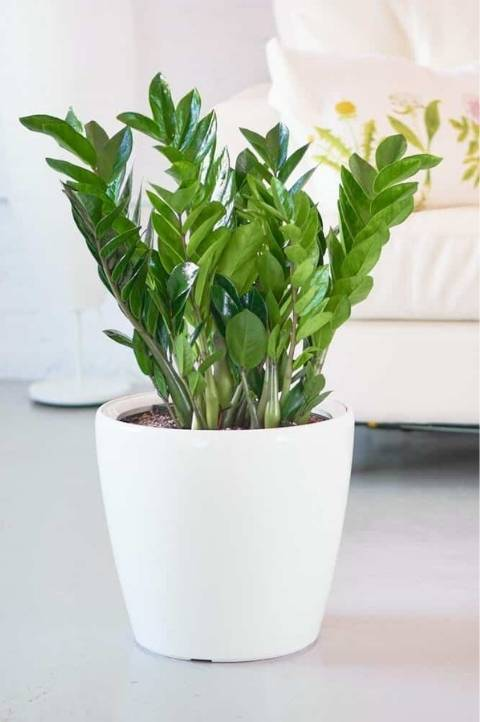 potted low maintenance zz plant with bright green leaves
