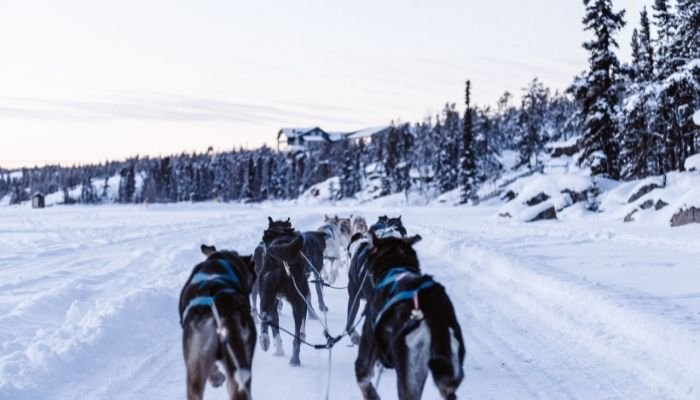 a pack of huskies dog sledding in the snow
