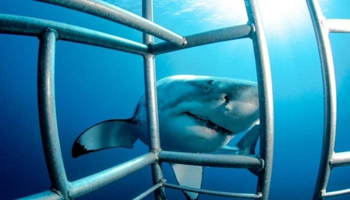 a shark in front of a shark cage dive