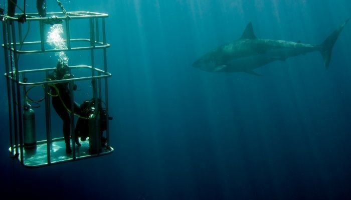 a diver in a shark cage, diving with a great white shark