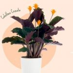 Calathea Crocata Care (Complete A to Z, History & More)