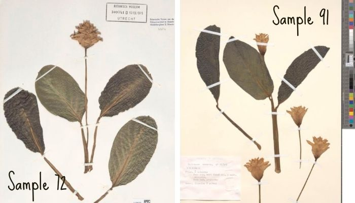 samples of the calathea crocata plant taken in Brazil