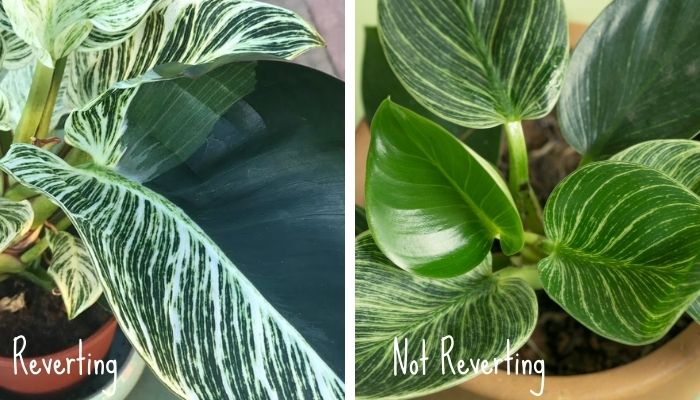 philodendron birkin plant reverting versus another one not reverting
