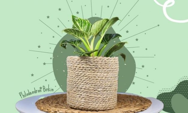 Philodendron Birkin Care: How NOT to Kill This Gorgeous Gem